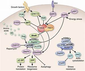 The Mtor Pathway  The Mtor Protein Is Part Of Two Protein