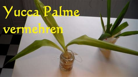 yucca palme ableger yucca palme vermehren yucca palme schneiden ableger steckling yucca palme