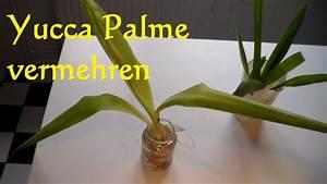 Yucca Palme Winterhart : yucca palme vermehren yucca palme schneiden ableger ~ A.2002-acura-tl-radio.info Haus und Dekorationen