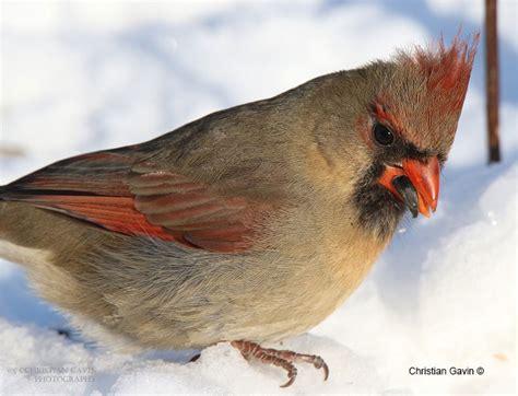 canadian birds the canadian nature photographer