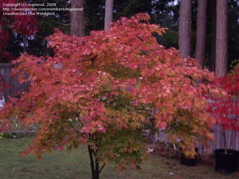 orange japanese maple plantfiles pictures japanese maple orange dream acer palmatum by largosmom