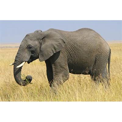 African Elephantnotesfromcamelidcountry