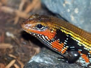 Fire Skink Lizard