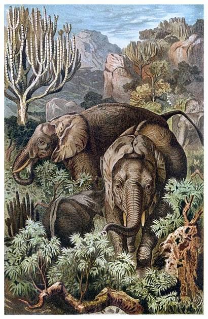 African Elephants 1600 Illustrations Illustration Px 1900