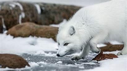 Arctic Fox Wallpapers Animals Anime Quiz Backgrounds