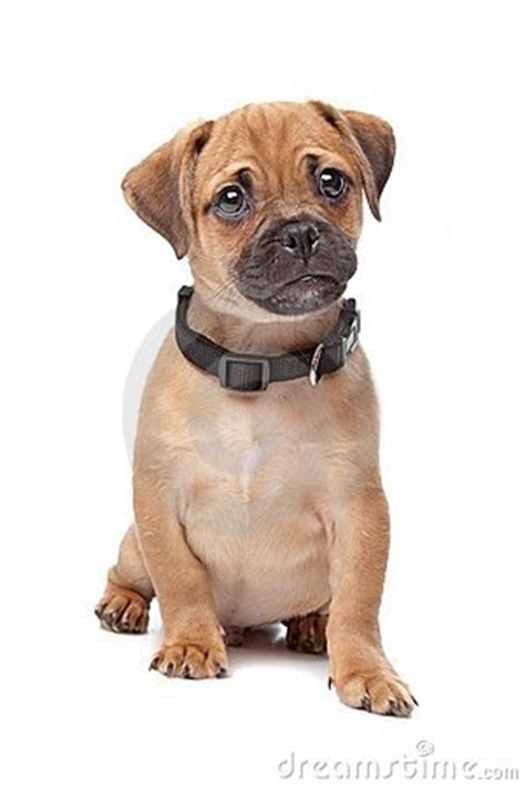 pug spaniel mix breed dog royalty  stock photography
