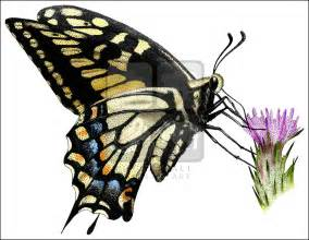 Swallowtail Butterfly Drawings in Color
