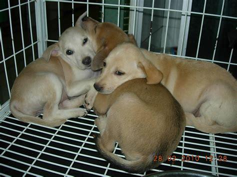 Duuuhvana Klang Pound Mummy  Ee  Dog Ee    Ee  Puppies Ee   Up For  Ee  Adoption Ee