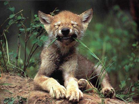 cute wolf cub eating grass luvbat