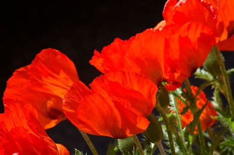 Small Kitchen Color Ideas Pictures - oriental poppy facts growing tips for an orange beauty