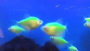 Glow in the dark fish. Glofish Tetra - YouTube
