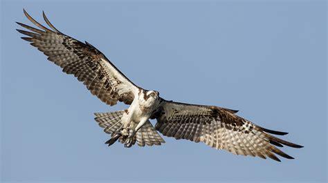 Images Of Osprey Osprey The Audubon Birds Climate Change Report