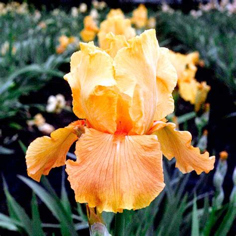 iris plants apricot silk all flower bulbs flower