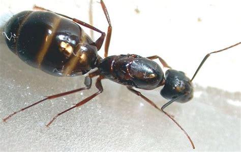 des fourmis charpenti 232 res dans la maison a 224 z