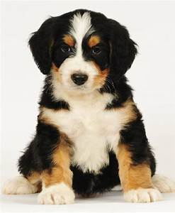 17 Best images about Bernedoodle on Pinterest | Poodles ...