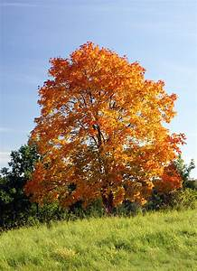 Trees Planet: Acer platanoides – Norway Maple  Maple