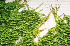 Ornamental Plants What Is Climber Plants