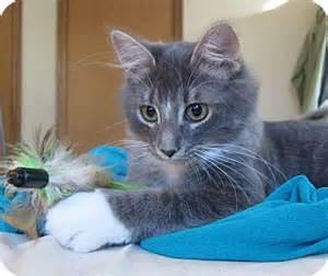 petsmart cats for adoption roseville mn domestic mediumhair meet