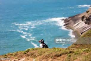 Puffin Skomer Island Wales