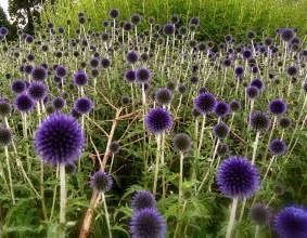 Blue Purple Perennial Flowers
