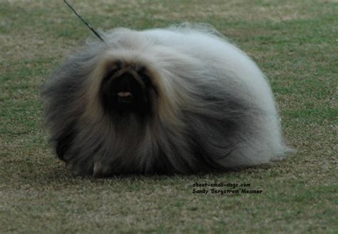 low shedding small breeds pekingese