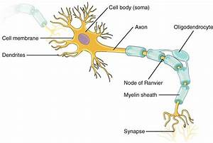 The Neuron Labeled Neuron Label Parts T