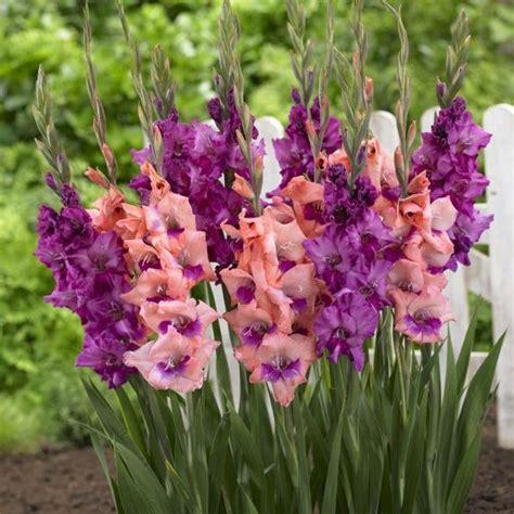 gladiolus gladiolus glamini from bulbs to blooms