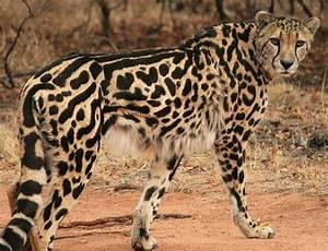 King Cheetah Cheetah Conservation Fund www.cheetah.org ...