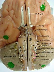 Cranial Nerves On Models Labeled