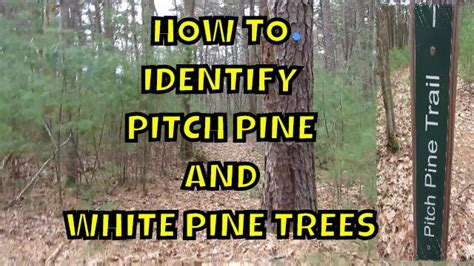 How To Identify Pitch Pine And White Pine Trees  Beavers Den  Waseeka Youtube