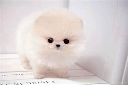 Perritos Pomeranian Puppy Teacup Dog Cutest Dogs