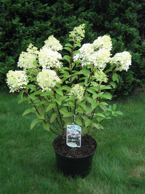 hydrangea paniculata bobo google search mayro