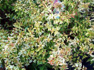 Abelia Grandiflora Kaleidoscope : abelia grandiflora kaleidoscope worley 39 s greenhouse ~ Melissatoandfro.com Idées de Décoration