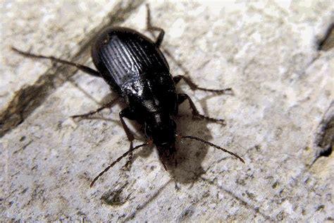 formiche volanti in casa scarafaggi in casa rimedi naturali idee green