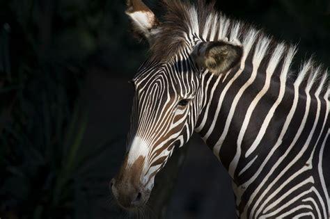 zebras zebra species learn horse zoo national grevy