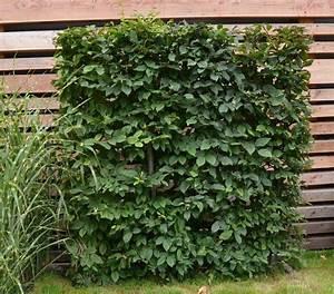 Online Pflanzen Kaufen : lego hecke hainbuche carpinus betulus g nstig aus der baumschule online kaufen ~ Watch28wear.com Haus und Dekorationen