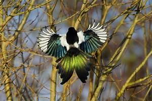 Elster Vogel Vertreiben : elster im flug zeigt ihr schillerndes federkleid in der ~ Lizthompson.info Haus und Dekorationen