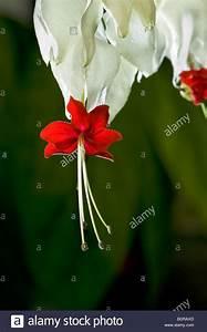 Tränendes Herz Blume : clerodendrum stockfotos clerodendrum bilder alamy ~ Eleganceandgraceweddings.com Haus und Dekorationen