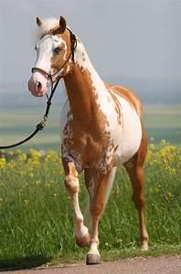 Palomino Overo Paint Horse