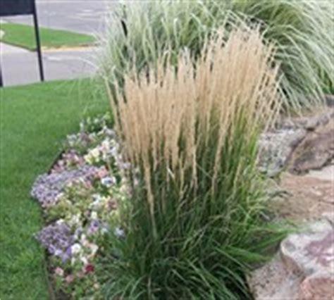 Calamagrostis  Reed Grass  Buy Plants Online