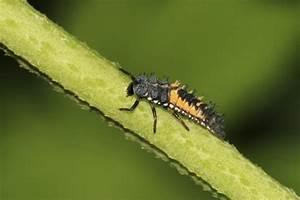 Pflanzen Gegen Spinnen : n tzliche insekten in den garten locken mein sch ner garten ~ Lizthompson.info Haus und Dekorationen