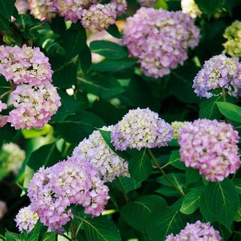 hydrangea flower care how to care for and choose hydrangeas flower flowering shrubs and hydrangeas