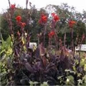 Canna Blüten Abschneiden : canna indisches blumenrohr canna indica schneiden pflege ~ Lizthompson.info Haus und Dekorationen