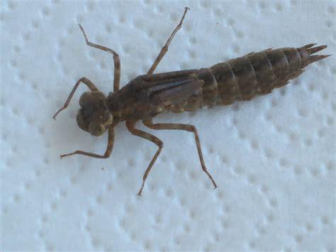 fuer ein riesen insekt ist das biologie insekten