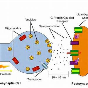 Chemical Synapse Diagram Labeled