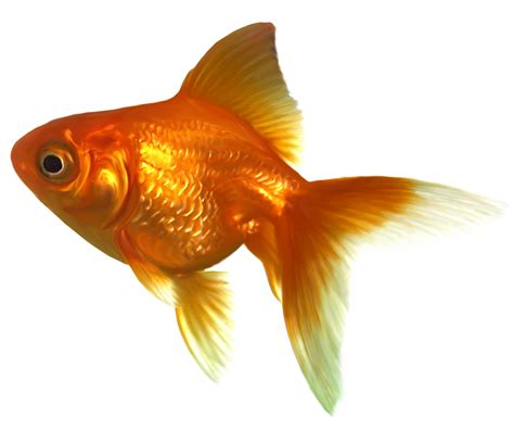 Gold Fish Clipart Golden Fish  Pencil And In Color Gold
