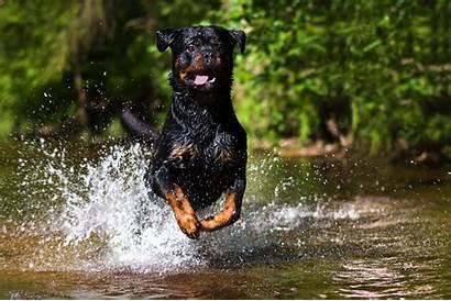 Rottweiler Dog Police Breeds Dogs Rottweiller Breed