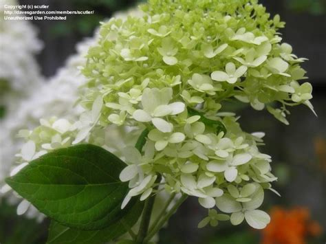 plantfiles pictures panicle hydrangea tree hydrangea