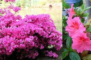 Arbuste Persistant Croissance Rapide : arbustes persistants croissance rapide ascolour ~ Premium-room.com Idées de Décoration