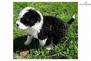 Dory: Portuguese Water Dog puppy for sale near Gulfport ...